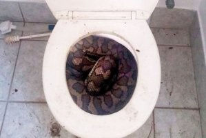 Snakes in Australia have started hiding in people's toilets due to the lack of rainfall (Photo)