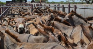 Zimbabwe insists on opening donkey abattoir