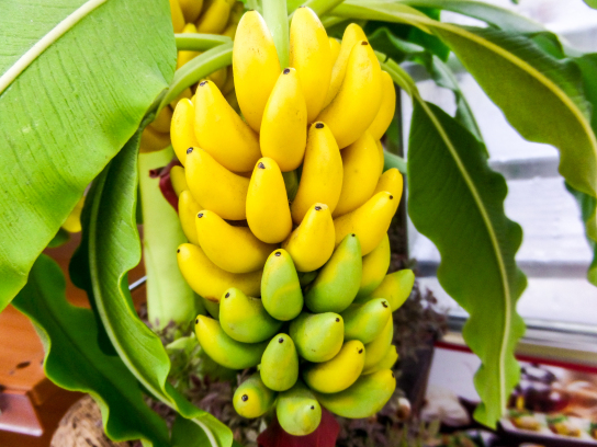 8 Good reasons why you should be eating more bananas