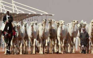12 camels disqualified from beauty contest in Saudi Arabia