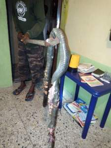 Check out the huge mysterious Cobra a student killed in his toilet in Delta (Photos)