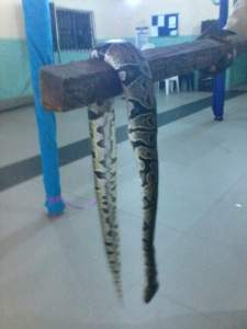 Check Out The Big Snake Killed In A Church Last Night (Photos)