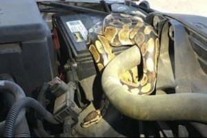 Woman Shocked To Find Giant Snake Inside Engine Of Her Malfunctioning Car (Photos)