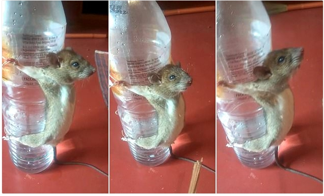 , Man punishes rat for chewing his phone charger, Effiezy - Top Nigerian News & Entertainment Website