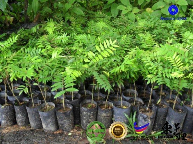 红色东革阿里 加强身体免疫力 增强细胞再生 软化血管 Tongkat Ali 纯天然有机绿色植物 Awana Apex Manufacturer A003-C01