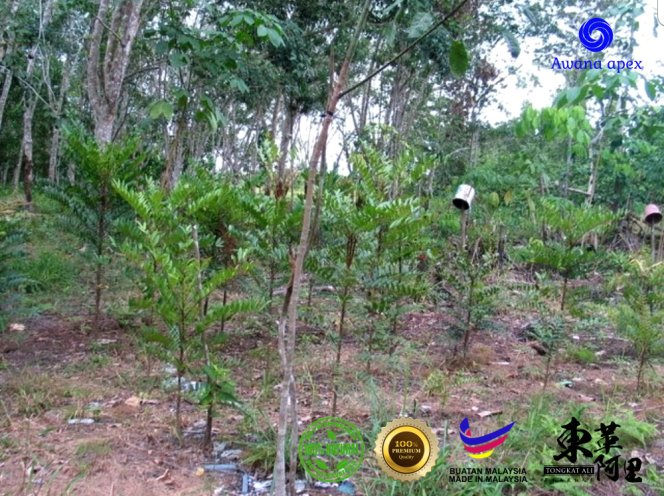红色东革阿里 加强身体免疫力 增强细胞再生 软化血管 Tongkat Ali 纯天然有机绿色植物 Awana Apex Manufacturer A003-C03