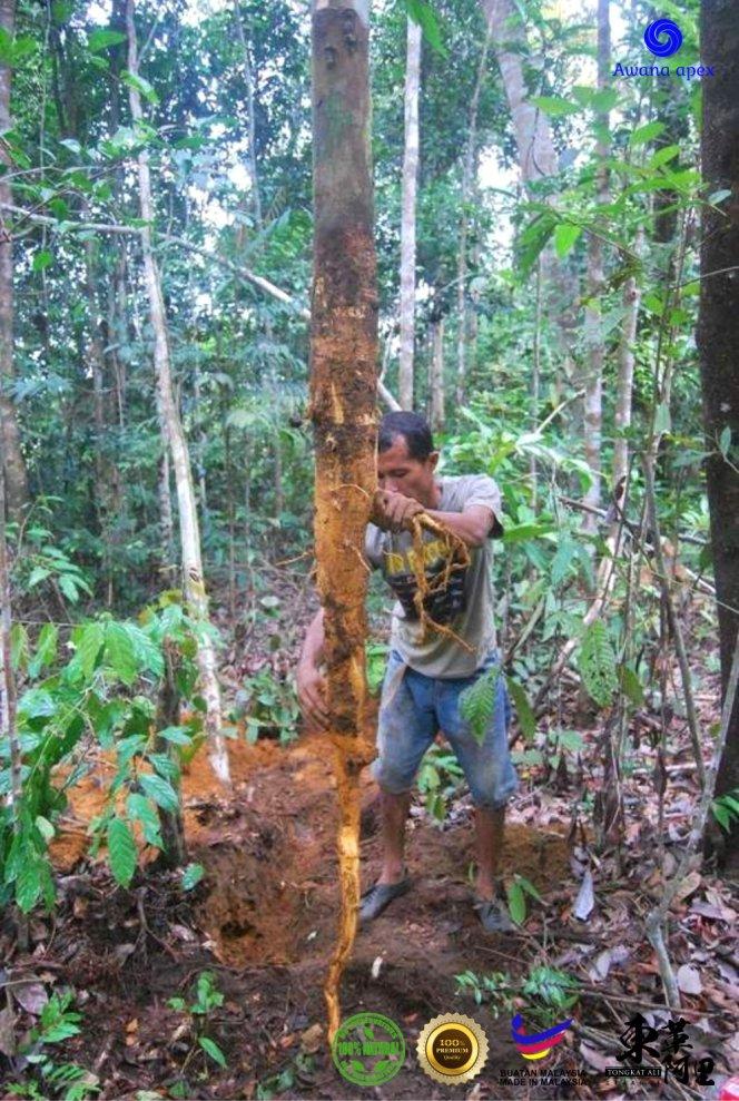 红色东革阿里 加强身体免疫力 增强细胞再生 软化血管 Tongkat Ali 纯天然有机绿色植物 Awana Apex Manufacturer A003-C05
