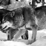 Impuls am Mittwoch - Zwei Wölfe in dir