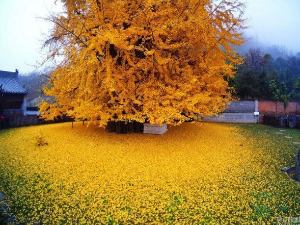 ancient-ginkgo-rains-gold-at-a-buddhist-temple-in-china-2