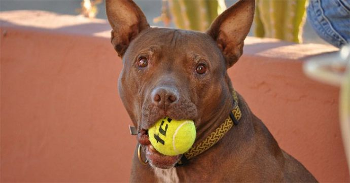 Best-Toys-For-Pit-Bulls1