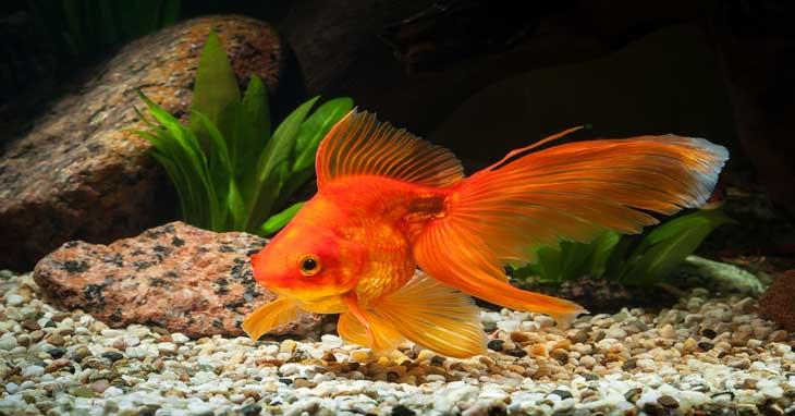 How Often To Feed Goldfish