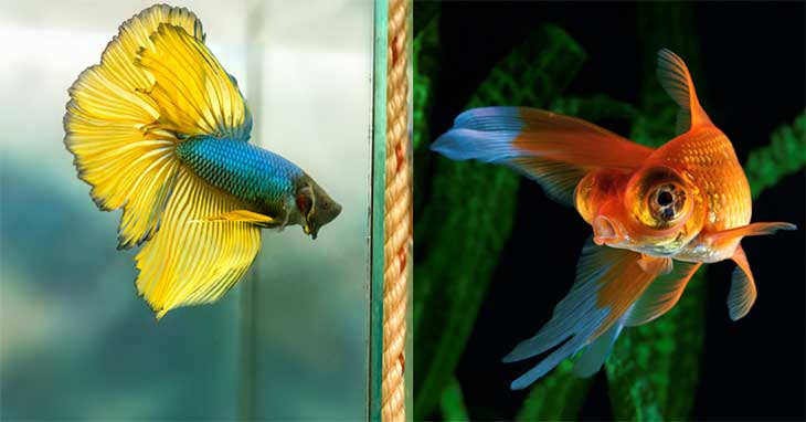 Can Betta Fish Live with Goldfish