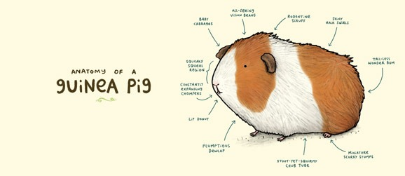 anatomy-of-guinea-pig