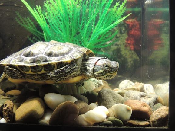 turtle tank Amphibians
