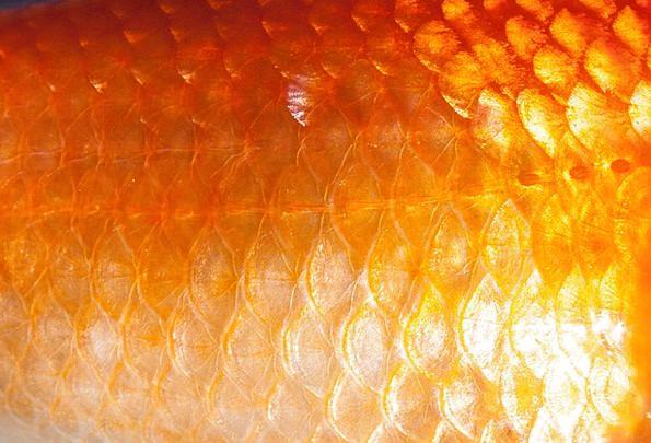 can-goldfish-regrow-fins