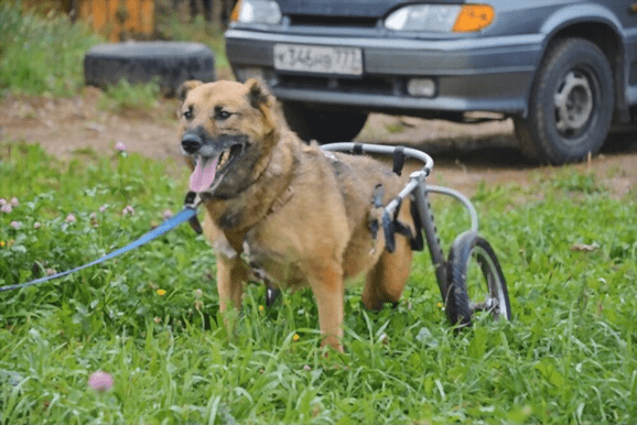 How can I get a free dog wheelchair