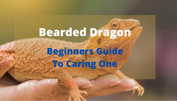 reptiles Bearded Dragon