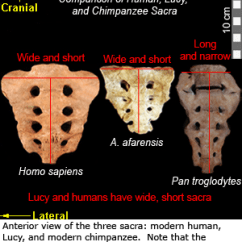 Sacroiliac Joint Diagram Dart Board Height And Distance Sacrum | Efossils Resources