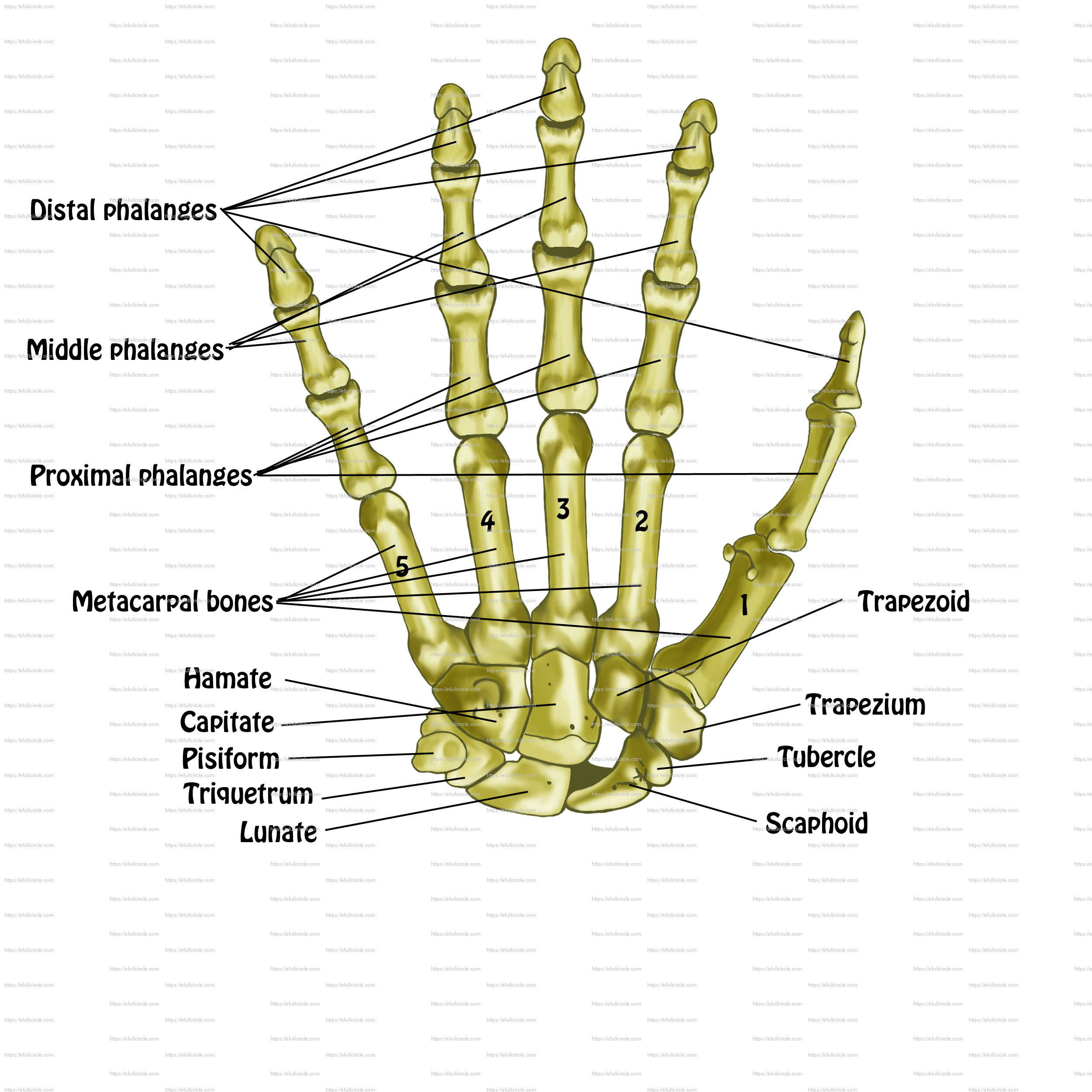 labeled diagram of the hand wiring diagrams software free wire and schematics anatomy posters spontaneous muscle release