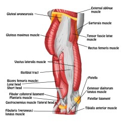 Gluteus Muscles Diagram Pain Ford Focus Wire The Iliotibial Band Spontaneous Muscle Release