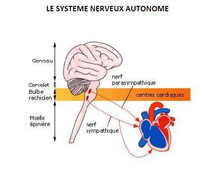 La cohérence cardiaque - système nerveux autonome