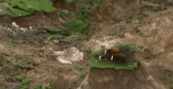 Earthquake Leaves Cows Stranded on a Tiny Piece of Grass as Earth disappeared (VIDEO)