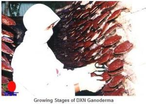 ganoderma termesztés