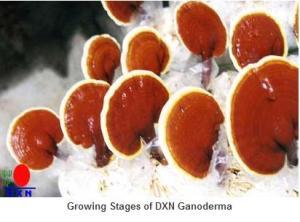 ganoderma dxn