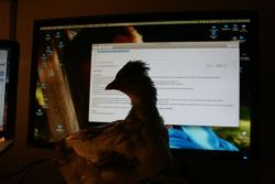 Baby chick in front of computer screen