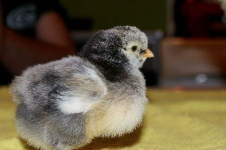 Well fed 1 week old baby chick