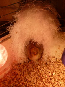Chick sleeping in nice and cosy feather duster