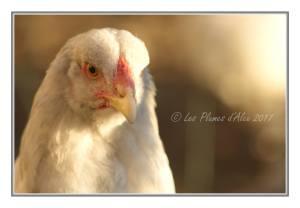 White brahma hen portrait