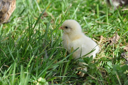Brahma chick