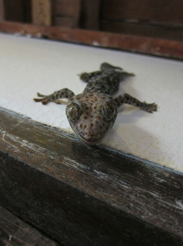 A Tokay gecko who liked to hang out in the kitchen