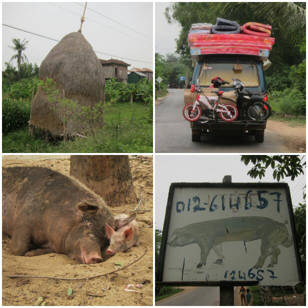 Top left: dried rice straw used as cattle feed, and also mushroom growing. Top right: one of those laden vans I mentioned earlier. Bottom left: very happy pigs. Bottom right: the pigs' number, should anybody ever need it.