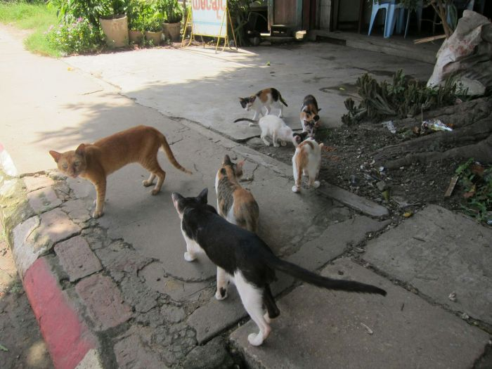 After seeing so many hungy cats in Myanmar, we brought some 'Mee O' dry cat food to carry around. I saw a very wary cat, and threw it some food. Then there were two more, so I threw more food. Suddenly, there were this many cats.