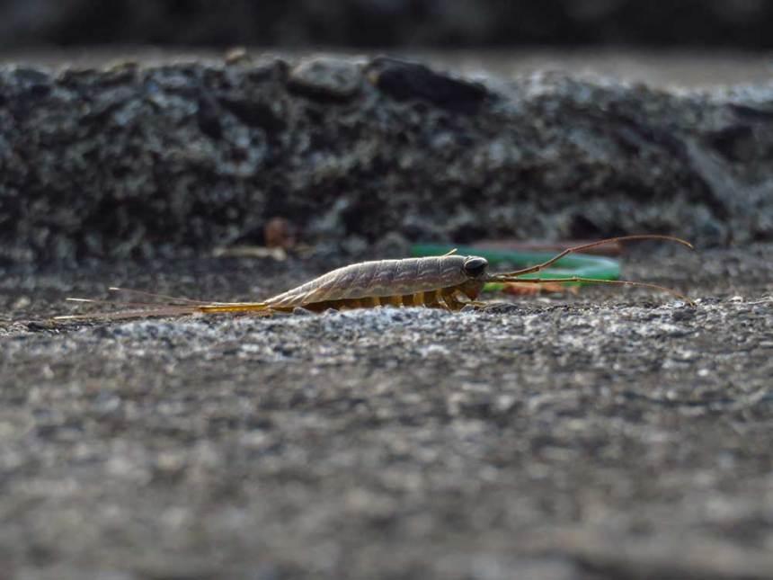 A sea slater near the mussel farm.