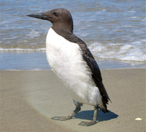 Common Murre (photo from SIMoN)
