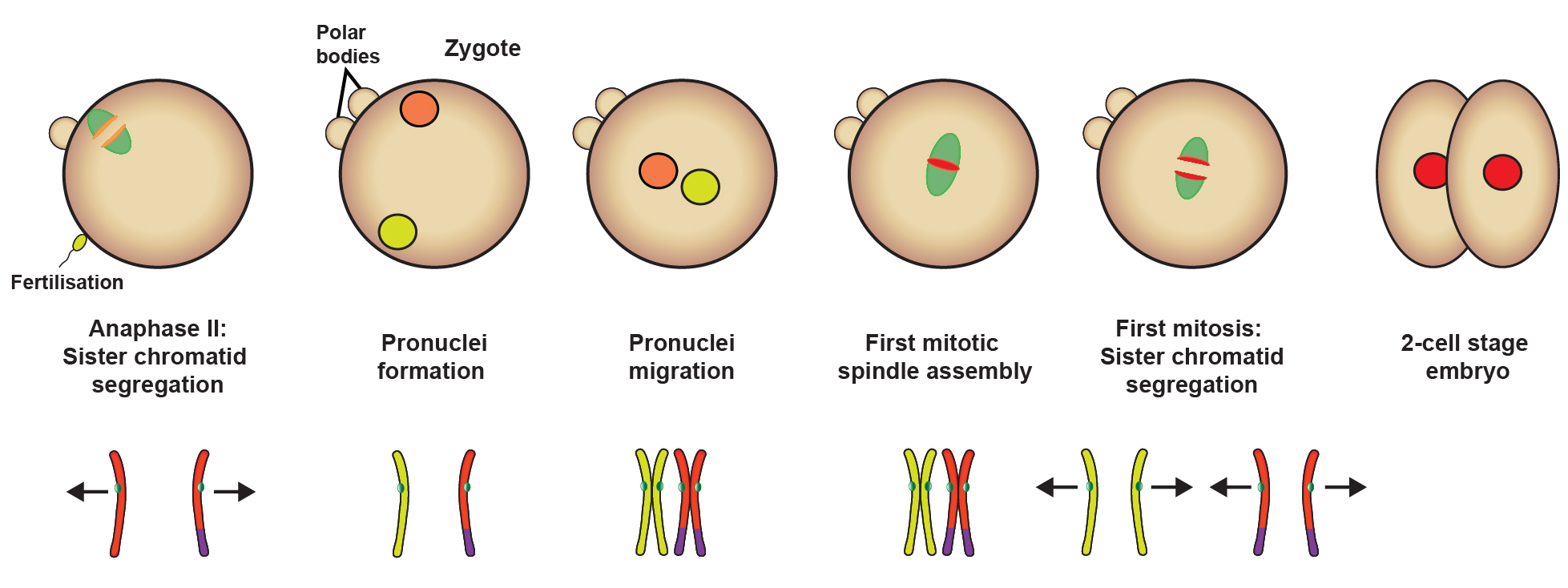 hight resolution of diagram of prophase in meiosi 2