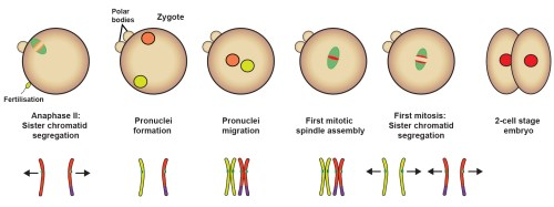 small resolution of diagram of prophase in meiosi 2