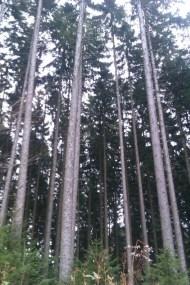 Les seigneurs de la Forêt-Noire : les épicéas au long fût.