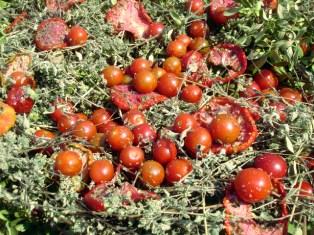 dried Ikarian summer