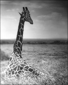 Giraffe-Sitting-Looking-Over-Plains