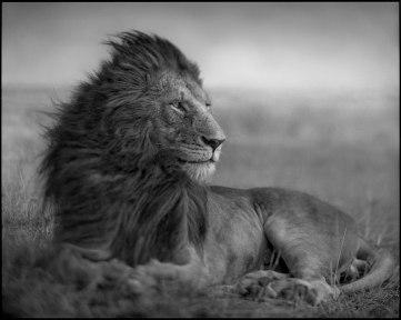 Lion-Before-Storm-Sitting-V