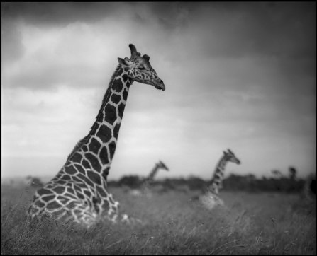 Three-Sitting-Giraffes