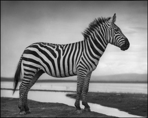 Zebra-by-Lakeshore