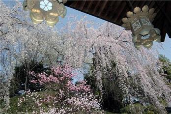 不動院の桜