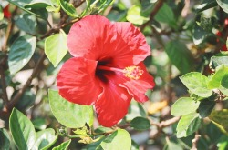 Hibiscus Sabdariffa plant pictures and health benefits