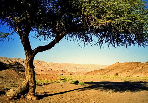 A lone Acacia tree