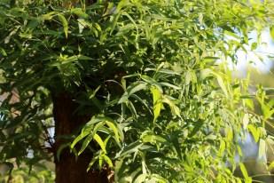 Showing new bright green growth on eucalypt radiata, Edward Hunter Heritage Bush Reserve